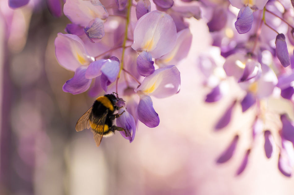 Animal Themes Animal Wildlife Animals In The Wild Beauty In Nature Bee Bumblebee Buzzing Close-up Day Flower Flower Head Focus On Foreground Fragility Freshness Growth Insect Nature No People One Animal Outdoors Petal Pollination Purple