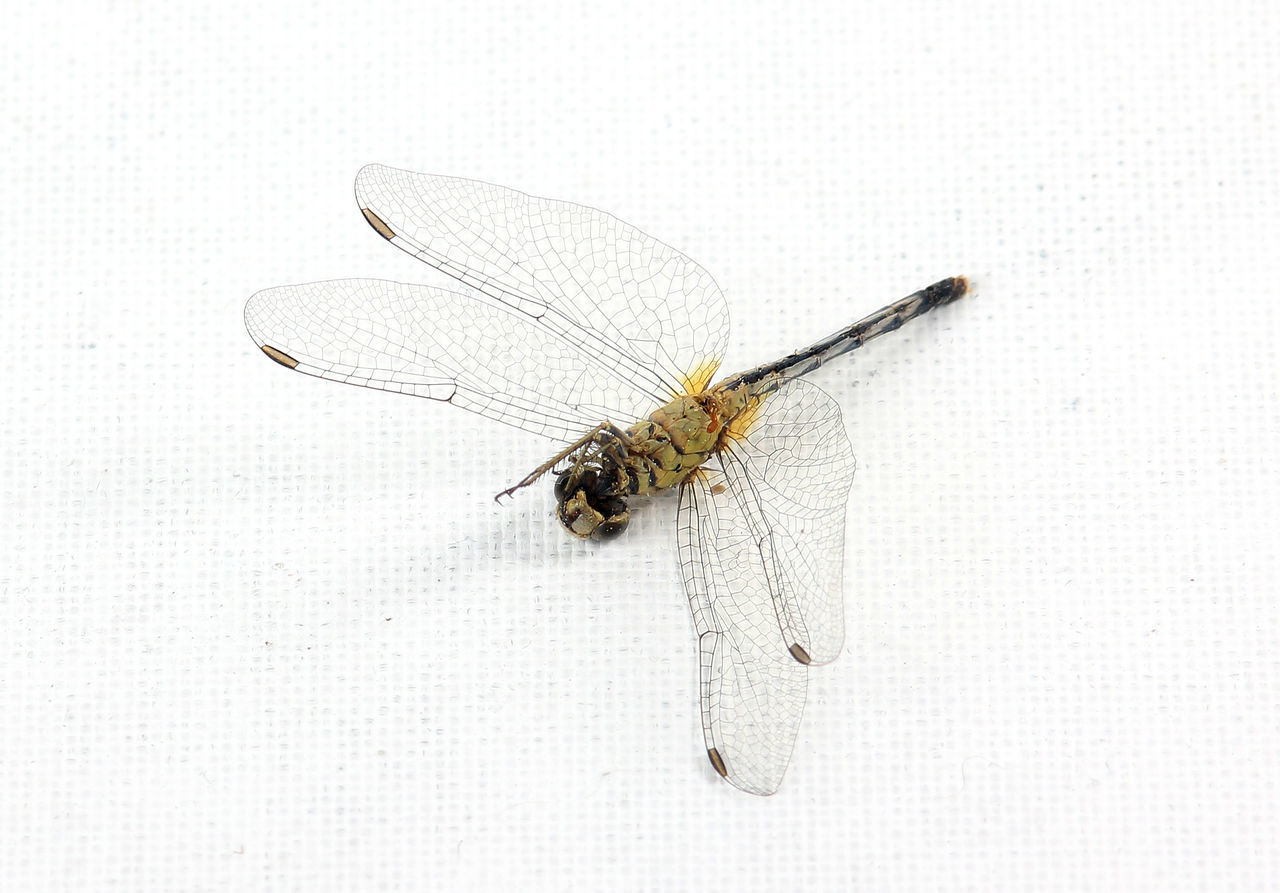 insect, animal themes, animal wing, animals in the wild, one animal, animal wildlife, mosquito, white background, close-up, no people, full length, day, outdoors