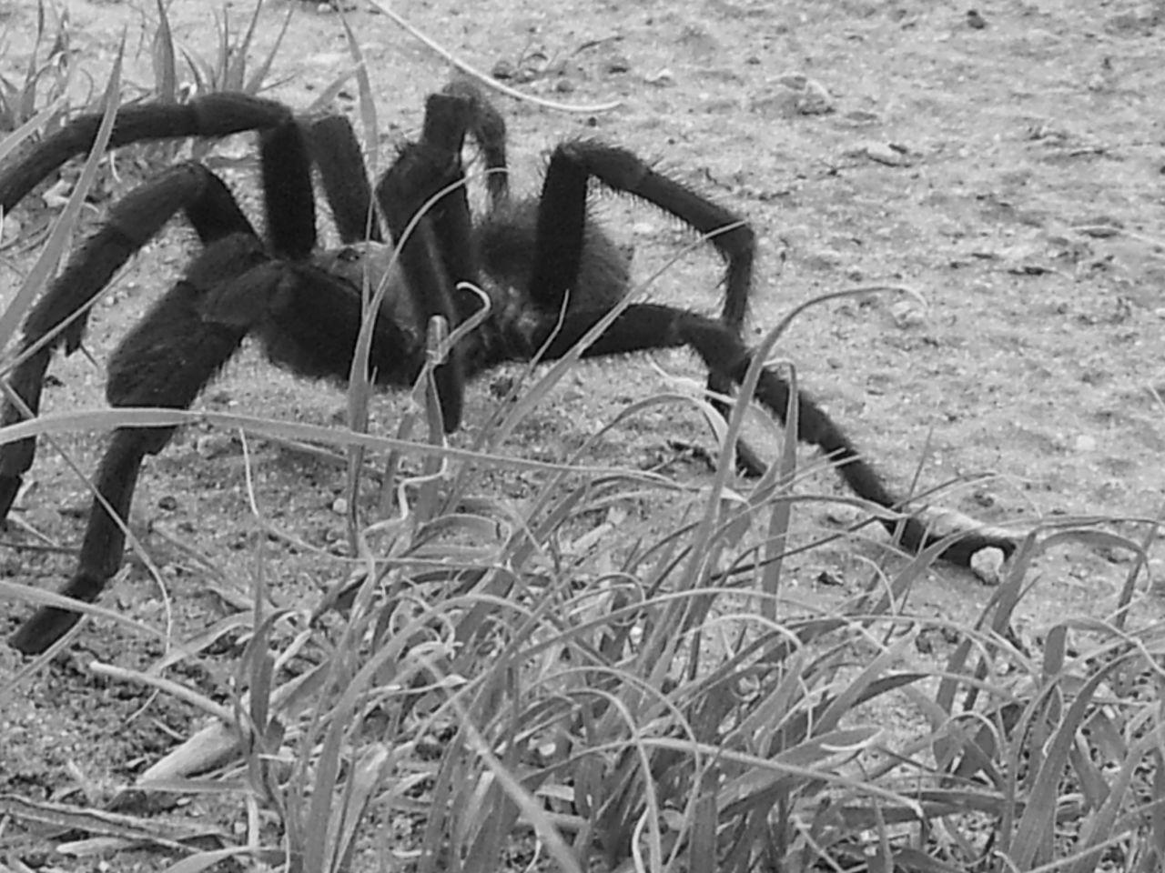 Coming thru, excuse me, spider, tarantula