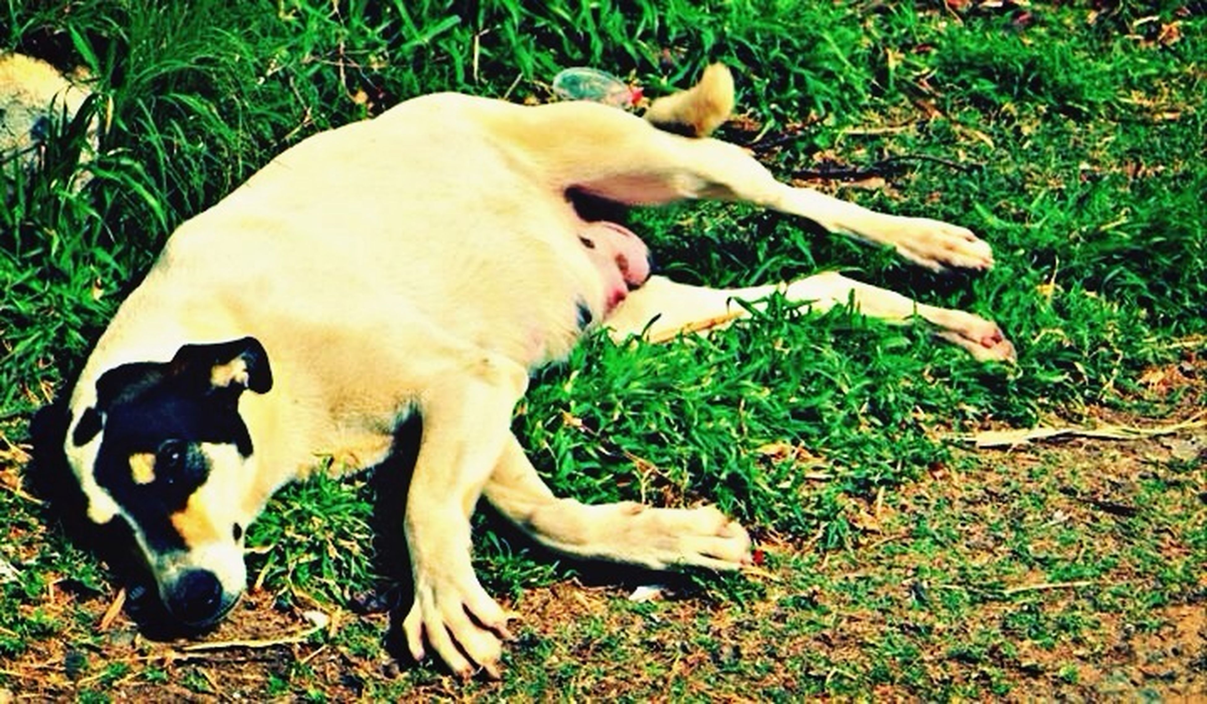 dog, domestic animals, pets, grass, animal themes, high angle view, one animal, mammal, field, grassy, relaxation, lying down, day, resting, nature, outdoors, leaf, no people, full length, standing