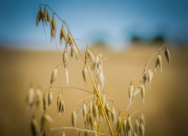 Agriculture Cereal Plant Close-up Crop  Day Food Growth Horizontal Landscape Nature No People Oat - Crop Outdoors Plant Rural Scene Rye - Grain Sky Summer Wheat Wholegrain