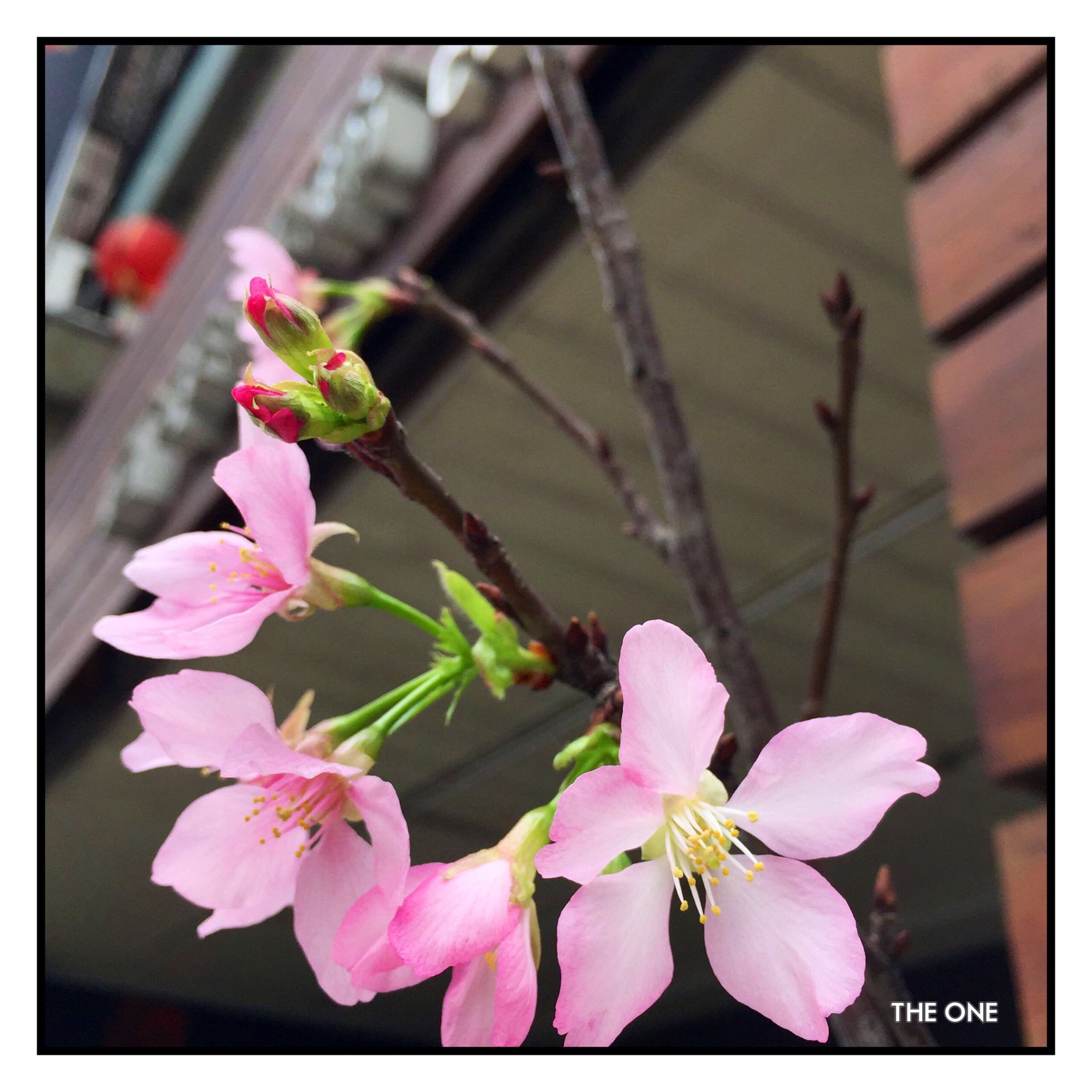 flower, transfer print, freshness, fragility, pink color, petal, growth, focus on foreground, auto post production filter, close-up, beauty in nature, nature, flower head, plant, blooming, blossom, in bloom, stem, branch, pink