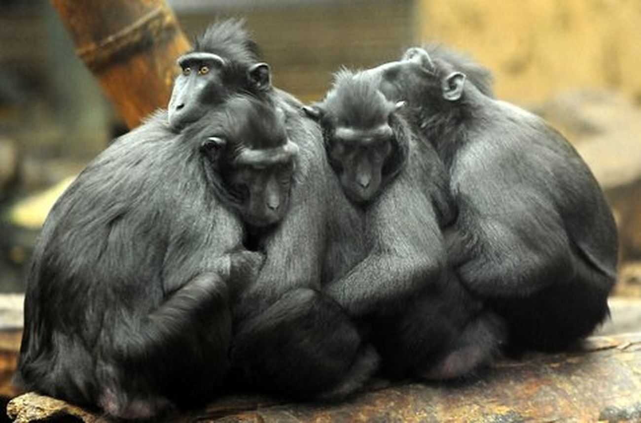 Apes having a group hug at Chester zoo Relaxing