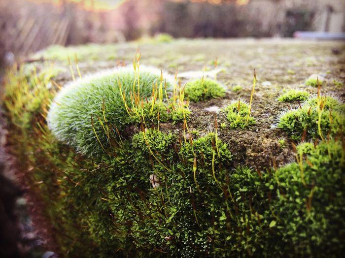 Moss Nature Pilis