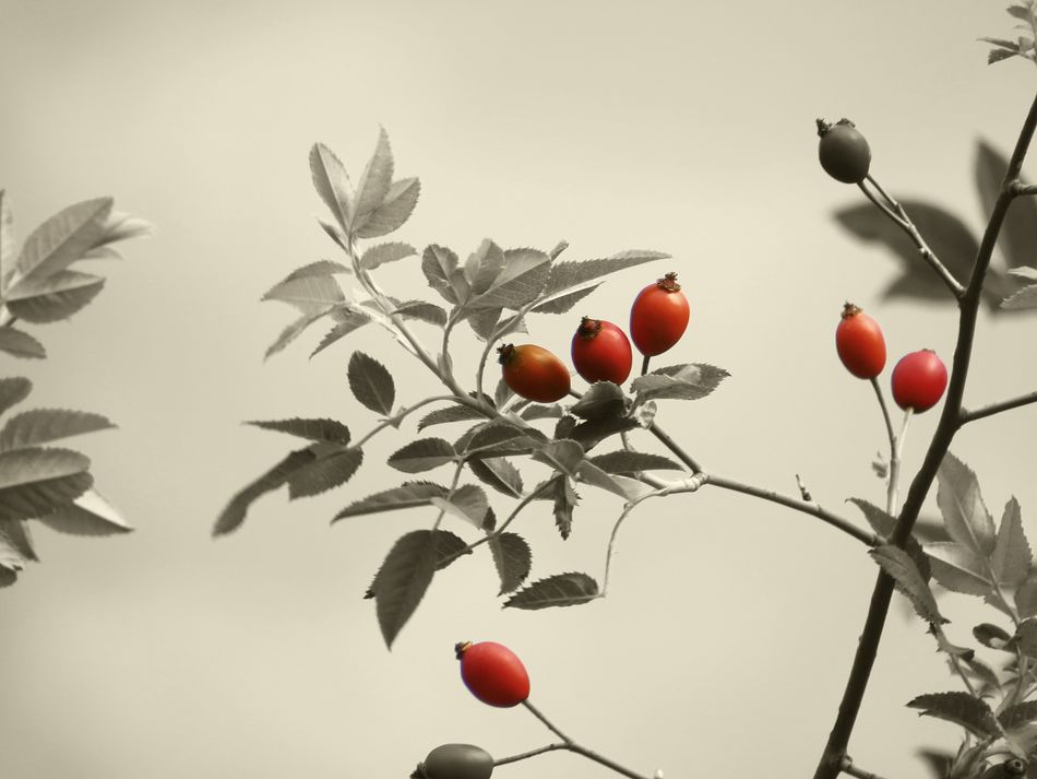 Rosé Rose Hips Red Close-up Nature Beauty In Nature Freshness Simplicity Tranquility Sepia In My Garden Sepia Photography