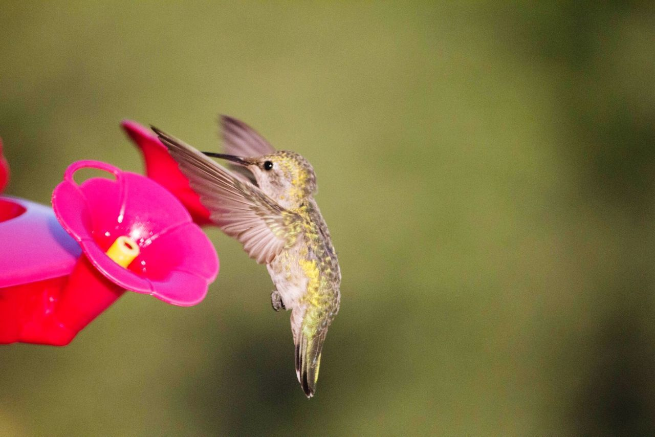 Beautiful stock photos of hummingbird, Animal Themes, Animal Wildlife, Animals In The Wild, Beauty In Nature