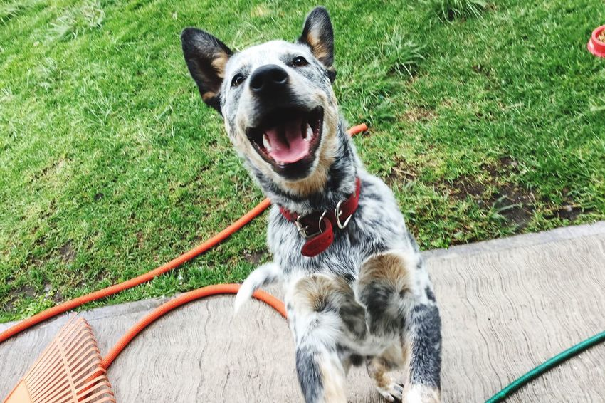 The Magic Mission Nature Colour Of Life Looking At Camera A Bird's Eye View Cattledog Blueheeler Heelergram Domestic Animals Smile ✌ Love ♥ One Animal Petphotography