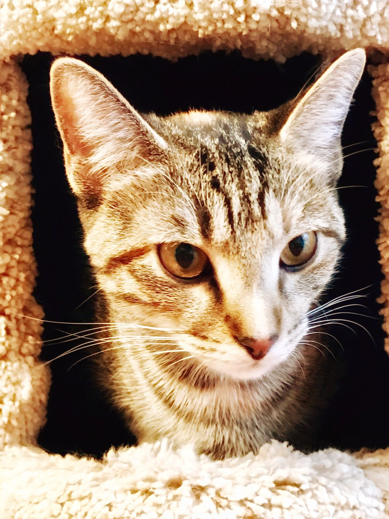 Portrait of beautiful one-year-old domestic or American shorthair tabby cat Domestic Cat Domestic Animals Pets Animal Themes One Animal Mammal Feline Looking At Camera Portrait Cat No People Whisker Close-up Outdoors Day Animal Behavior Yellow Eyes Cute Cats gold eyes Stock Photo Picture Copper Green Eyes Whiskers Companion Pet Domestic Cats One Animal No People Shorthaired Medium Fur American Feline Feral Stray Indoor Outdoor House Home Cutest Cat Of Day Cat Lover Breeds Carnivora Zoology Tabby Tomcat Mammal Playful C Lover Week Month Year