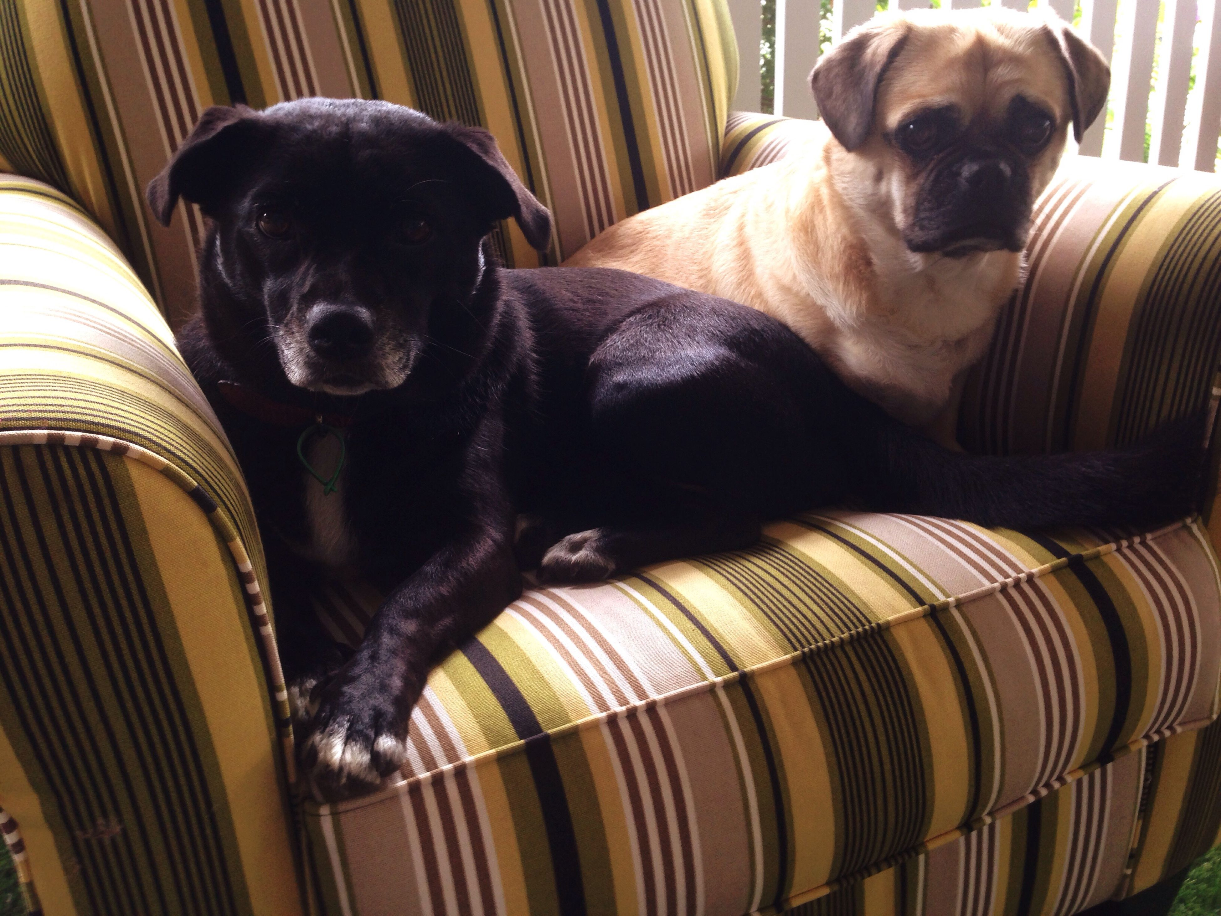 domestic animals, pets, animal themes, mammal, dog, one animal, indoors, looking at camera, portrait, relaxation, black color, animal head, resting, home interior, close-up, lying down, pet collar, sofa, two animals, home