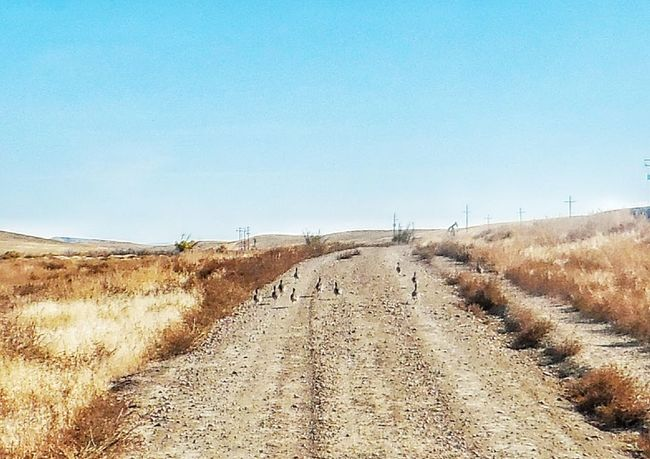 Flock Of Birds Nature Non-urban Scene Oilfield Road Remote Sage Hens Scenics Solitude Tranquil Scene Tranquility Worland WY Wyoming