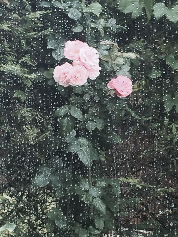 Roses Jardin Rain Window Rain Drops IPhoneography