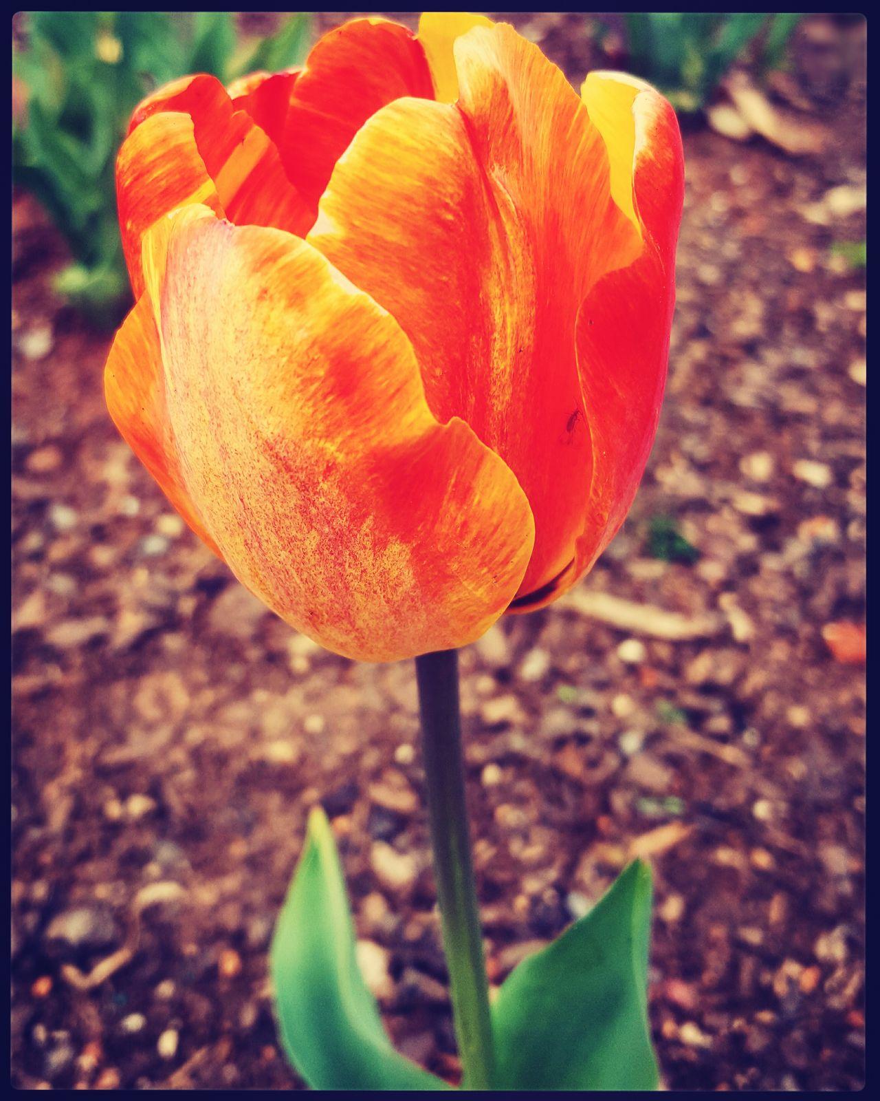 Flowers Flowers,Plants & Garden Flowerporn Tulips First Eyeem Photo