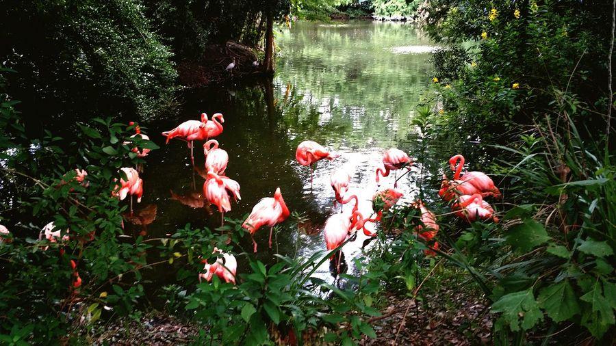 Jacksonville ZooLife Jacksonville Zoo Pink Flamingos Pink Vibrant Love Flamingo Obsession JacksonvilleFL Bird Photography Birds Birdporn Flamingo Photography