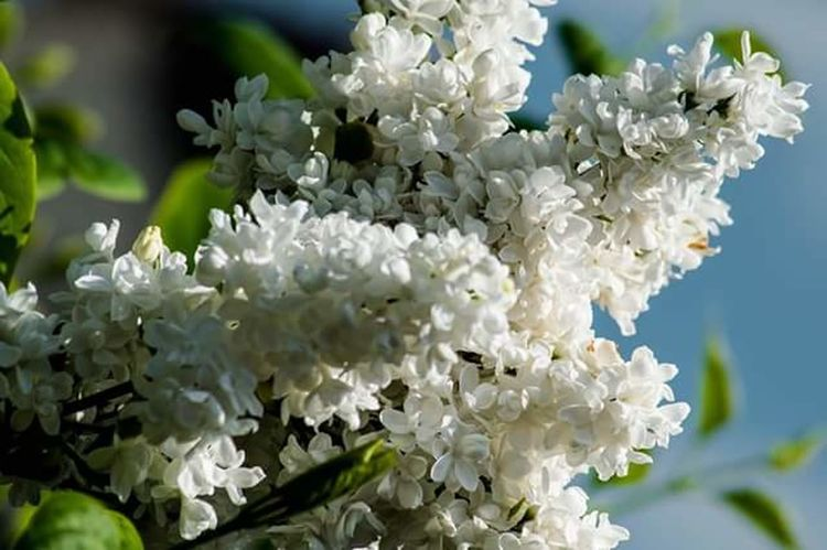 Flower Blossom White Color Botany Close-up No People Branch Flower Head Beauty In Nature