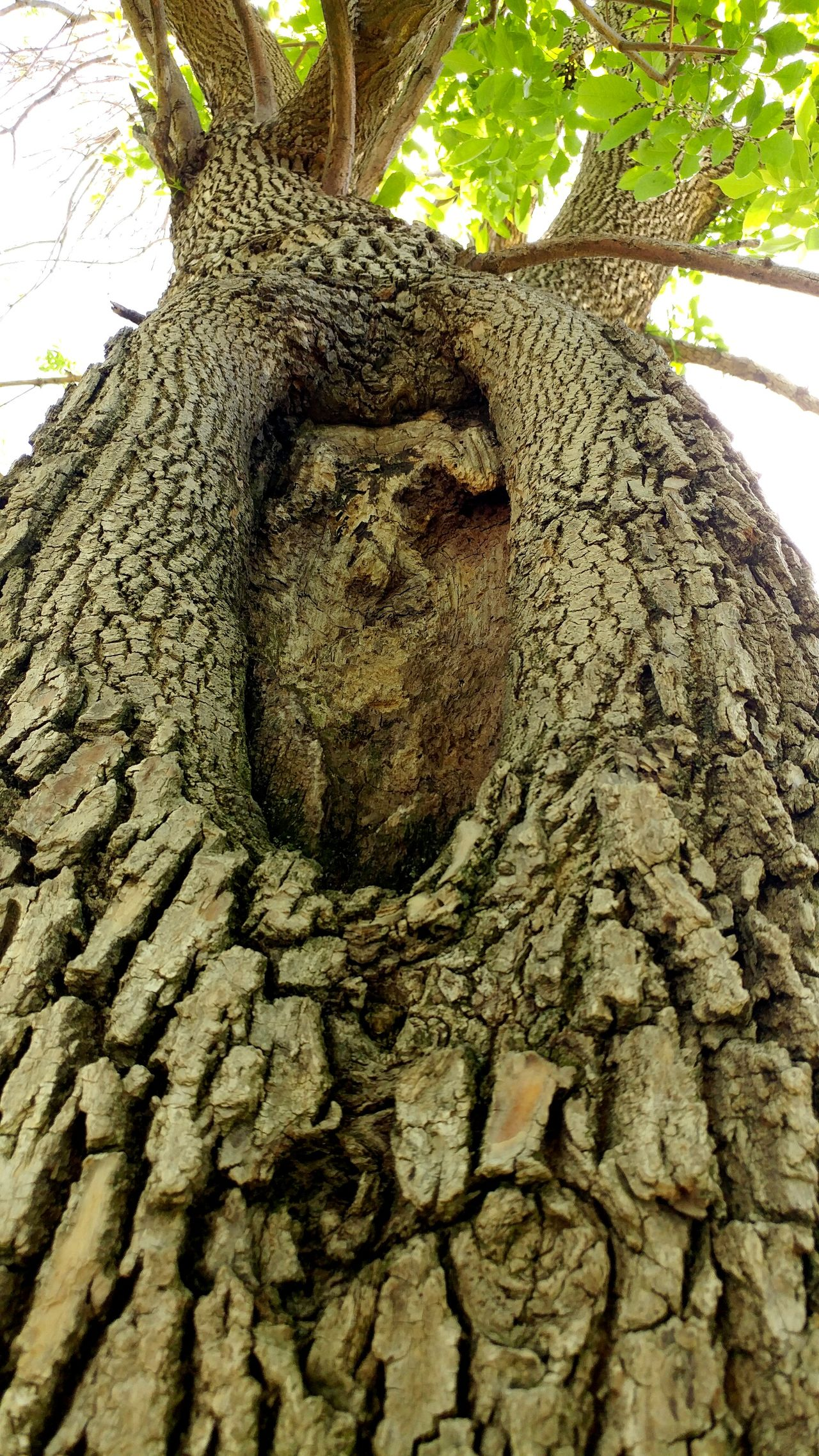 Face in a tree🌳 Tree And Sky Low Angle View Best Of EyeEm Soaking Up The Sun Eye4photography  Agriculture Close-up Tranquility Hello World Tree No People Day Face In Tree Tree Art Tree Bark Treetastic
