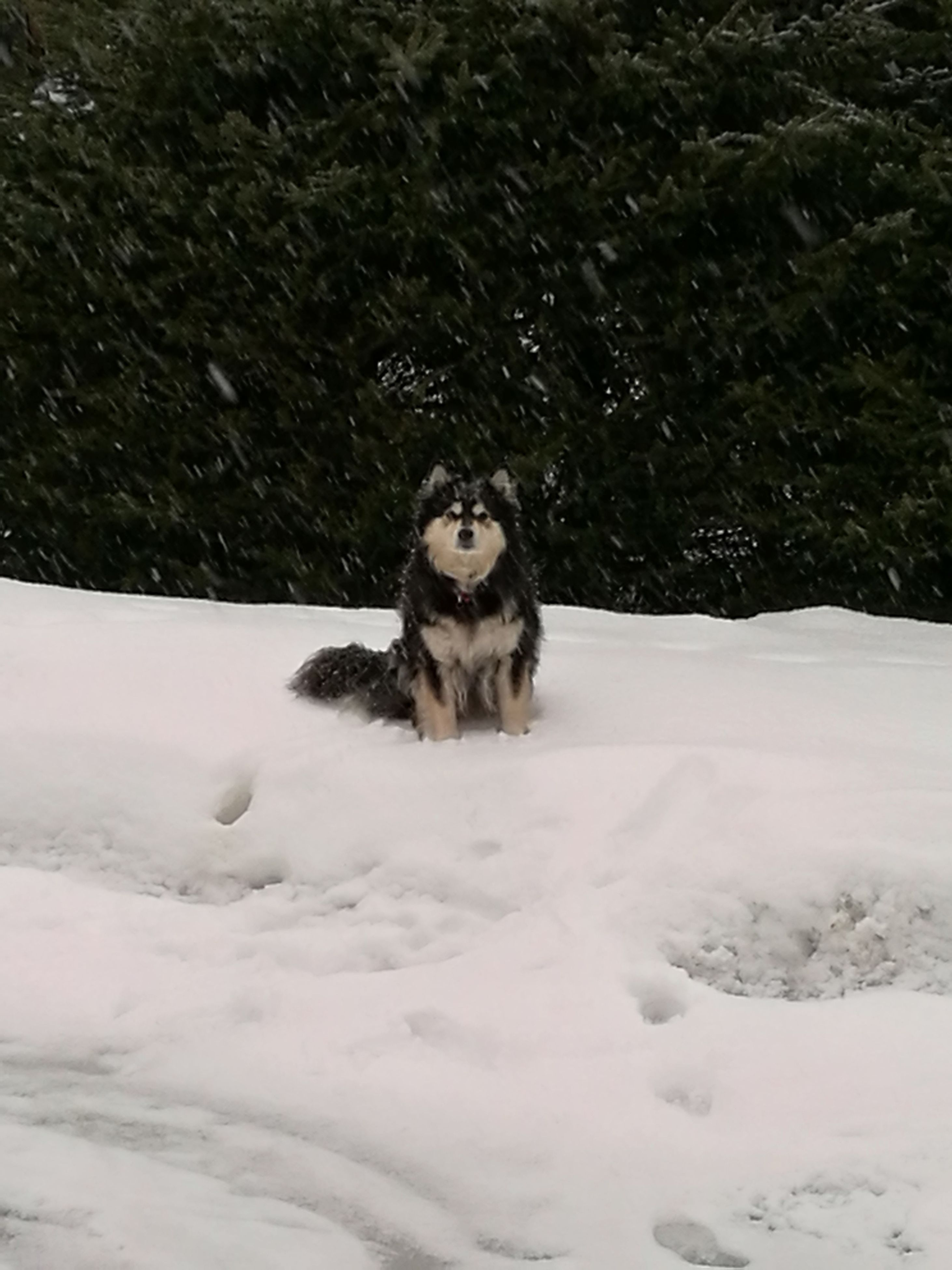 snow, one animal, winter, animal themes, cold temperature, dog, mammal, pets, snowing, no people, outdoors, field, domestic animals, nature, day