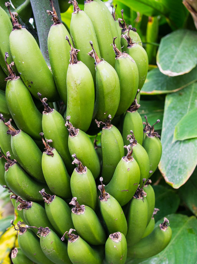 Green bananas on a banana plant Banana Tree Bananas Bunch Freshness Green Bananas Green Color Organic