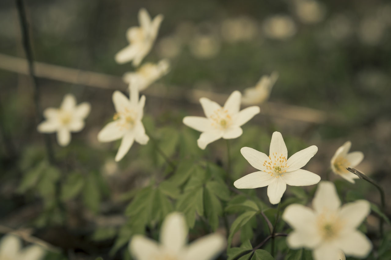 Beauty In Nature Blooming Close-up Day Exceptional Photographs Flower Flower Collection Flower Head Flowers, Nature And Beauty Focus On Foreground Fragility Freshness Growth In The Forest Nature No People Outdoors Petal Plant Springtime Surface Level The Great Outdoors - 2017 EyeEm Awards White Color Wood Anemone