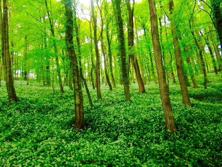 Woods Forest Wild Garlic Green Spring Trees EyeEm Nature Lover