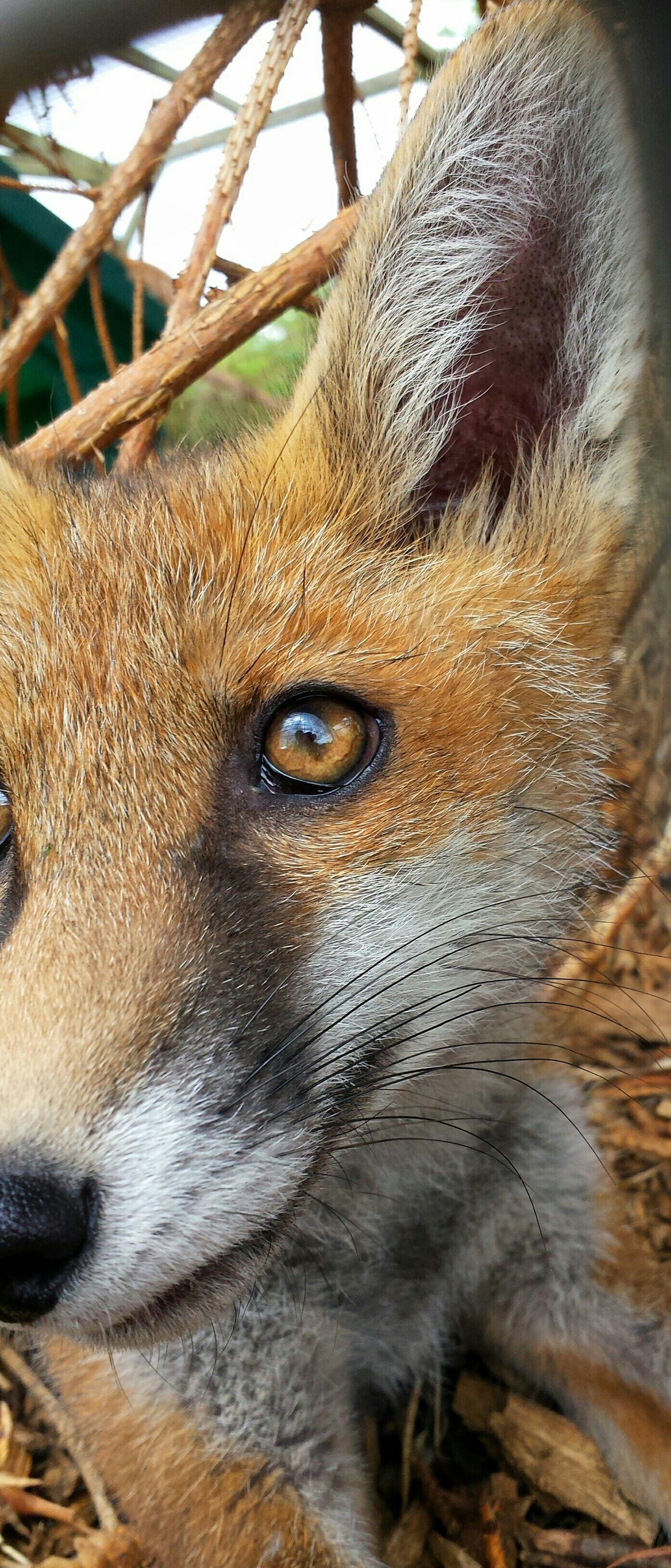 Nature Wildlife Fox Fox Cub