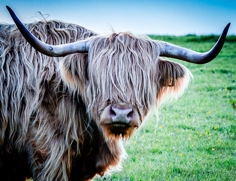 Time for a trim Animal Animal Head  Animal Themes Close-up Coo's Day Hairy Coo Highlan Cow Livestock Nature Outdoors