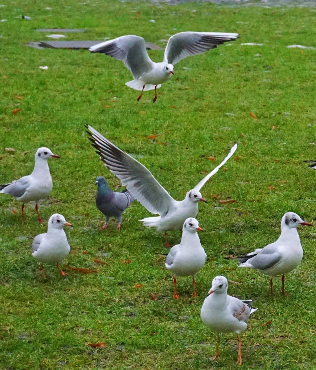 bird, animal themes, animals in the wild, animal wildlife, nature, spread wings, flying, day, seagull, outdoors, field, beauty in nature, large group of animals, no people, goose, grass, water