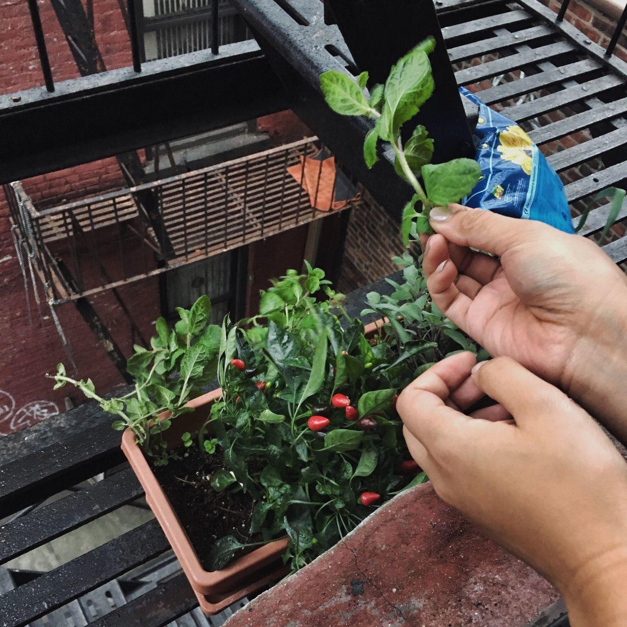 Urban Gardening Life In New York Frugality