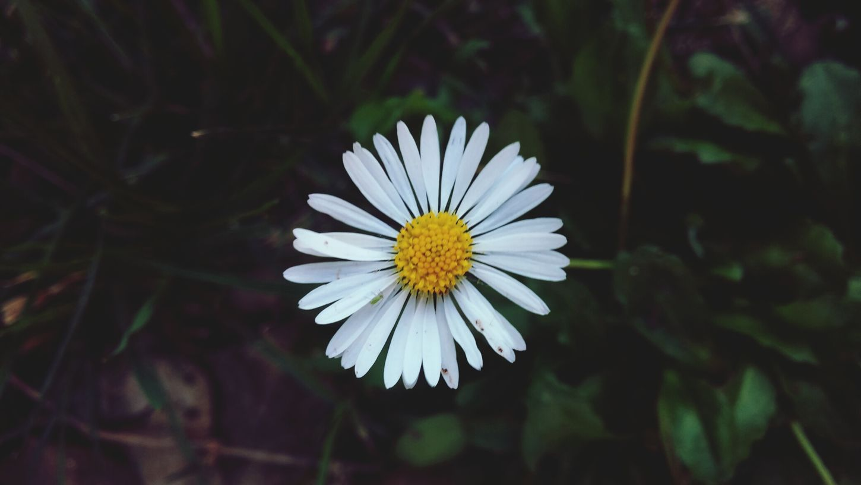 Daisy Daisy Flower Daisies Daisyporn Daisydream Spring Flowers Spring