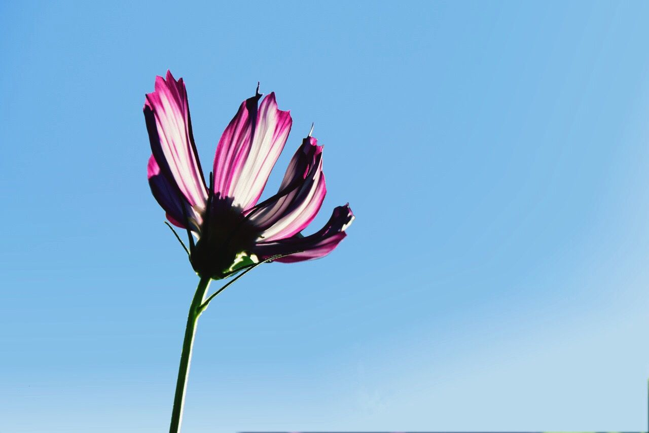 Close-Up Of Pink Flower Against Clear Blue Sky