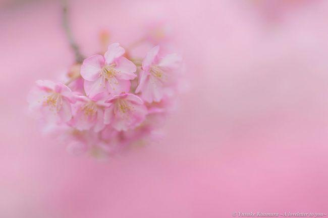 """Softly"" Sakura Pink Bokeh Cherryblossom Cherry Blossoms Nature Canon Blur Spring Sakura2015"