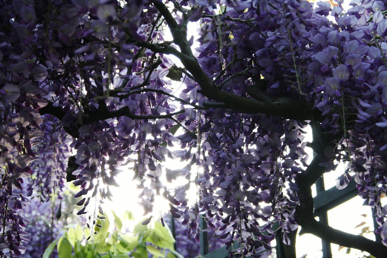 Tree Growth Nature Flower Blossom Branch Beauty In Nature Low Angle View No People Plant Freshness Outdoors Springtime Fragility Day Close-up Sky Canonphotography Freshness Canon Nature Beauty In Nature Petal Purpleflower Glicine