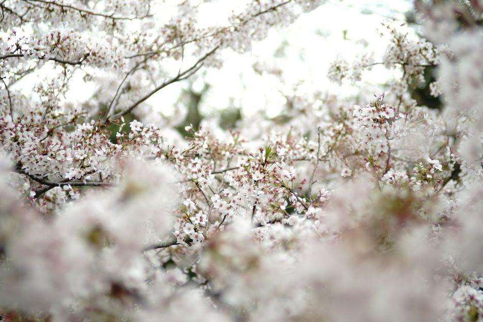 Flowers Yokohama-shi First Eyeem Photo Depth Of Field Sakura Cherry Blossoms