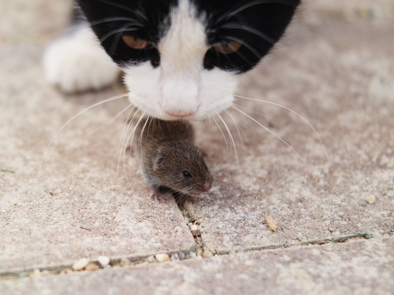 Close-Up Of Cat Smelling Mouse On Footpath