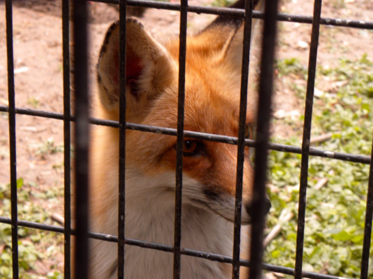 Animal Themes Animal Wildlife Animals In Captivity Beijing Beijing China Beijing Scenes BEIJING 北京 Beijing, China BEIJING北京CHINA中国BEAUTY Cage China China Photos Close-up Day Focus On Foreground Mammal Metal Metal Grate No People One Animal Pets Prison Security Bar Trapped Zoo