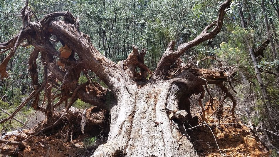 Tree Trunk Tree Tree Roots  Australian Bush Hiking Hikingadventures Peaceful Twisted