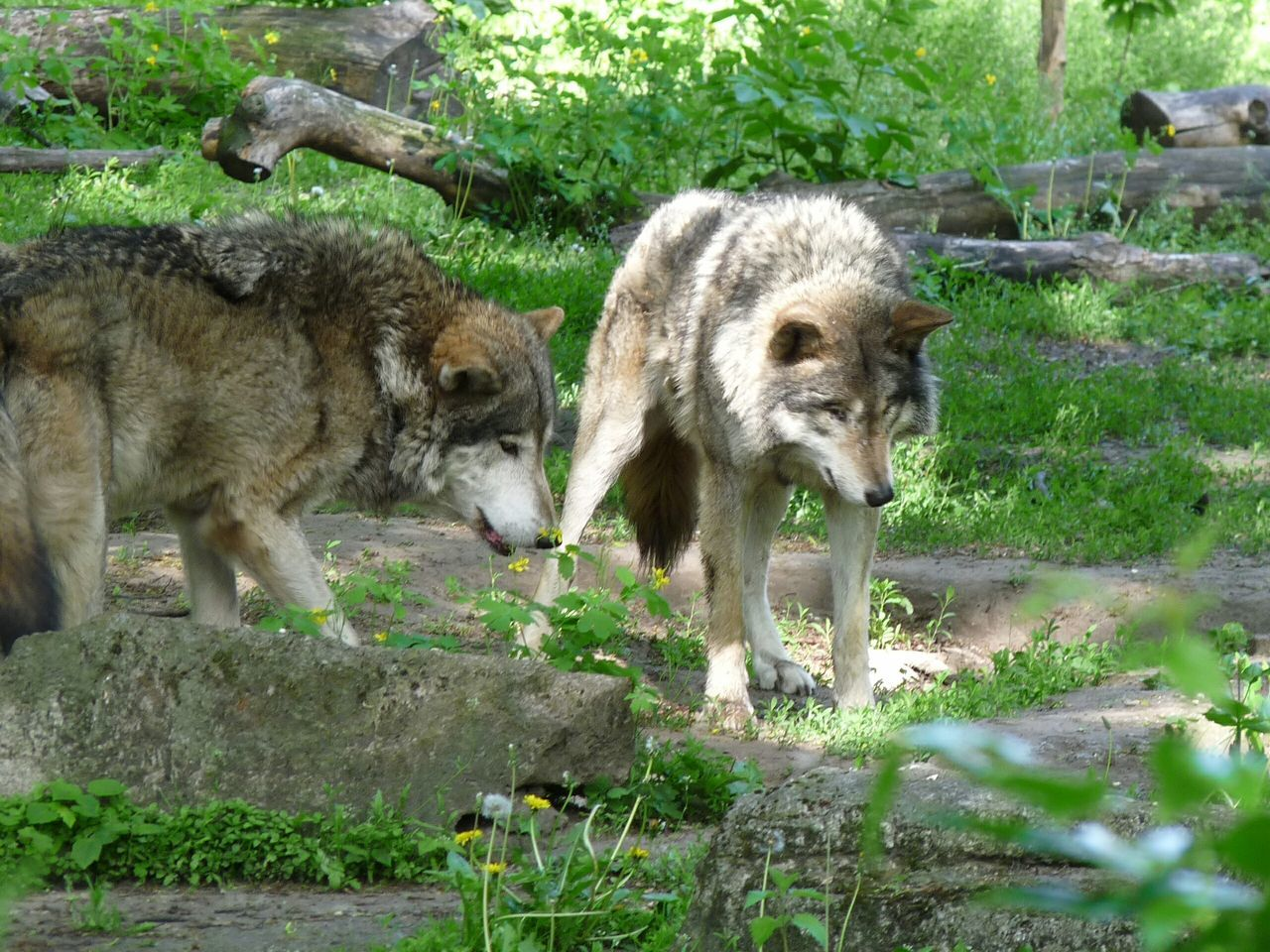 Beautiful stock photos of wolf, Animal Themes, Animals In The Wild, Day, Field