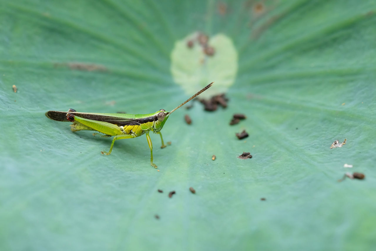 insect, green color, animals in the wild, animal themes, one animal, animal wildlife, selective focus, leaf, close-up, no people, day, nature, outdoors, grasshopper
