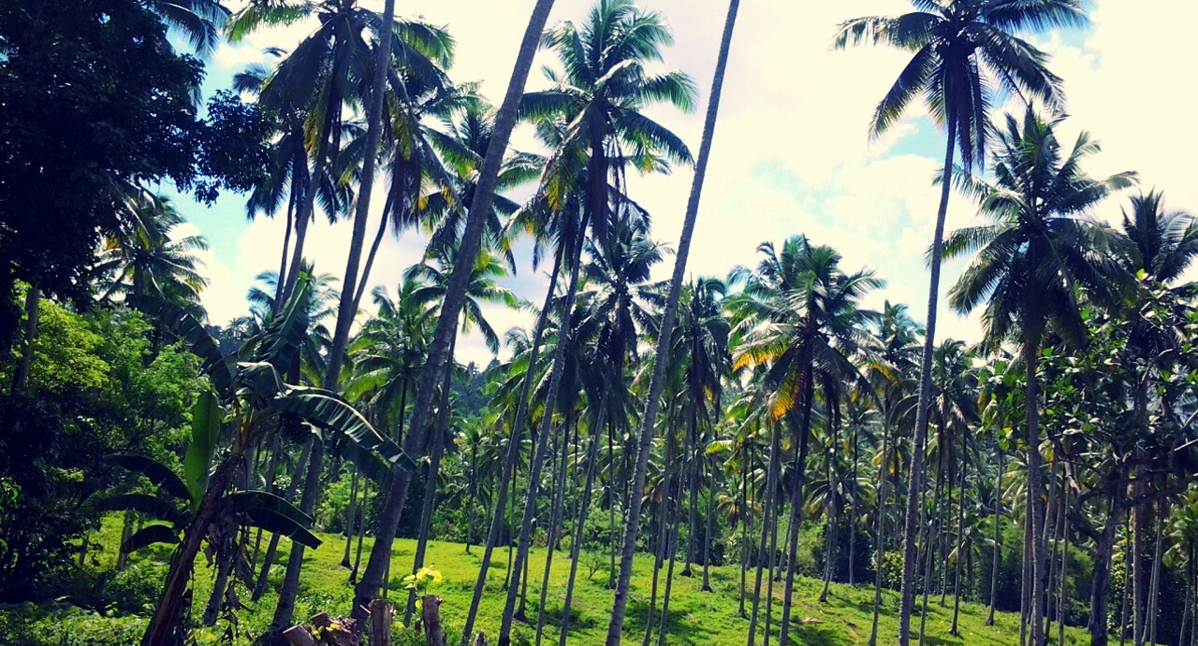 palm tree, tree, growth, sky, tranquility, tree trunk, nature, beauty in nature, tranquil scene, scenics, green color, coconut palm tree, sea, tropical climate, water, plant, sunlight, outdoors, day, idyllic