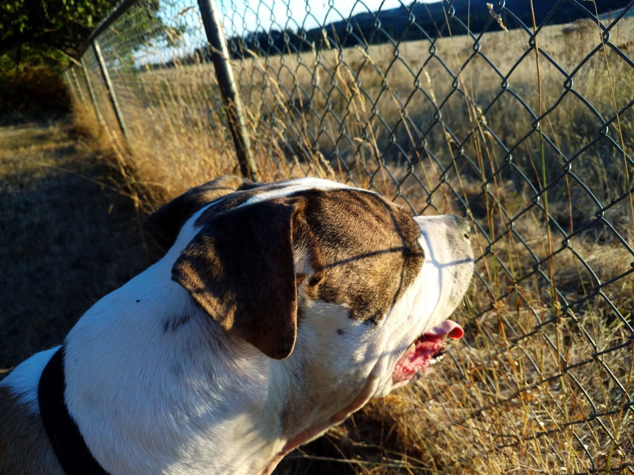 dog, domestic animals, one animal, animal themes, pets, mammal, day, outdoors, no people, close-up, beagle