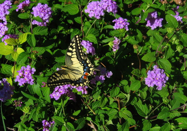 Botany Butterfly Close-up Daylight Favignana Flowers Green Background Nature No People One Insect Outdoors Purple Flowers Sicily, Italy Yellow