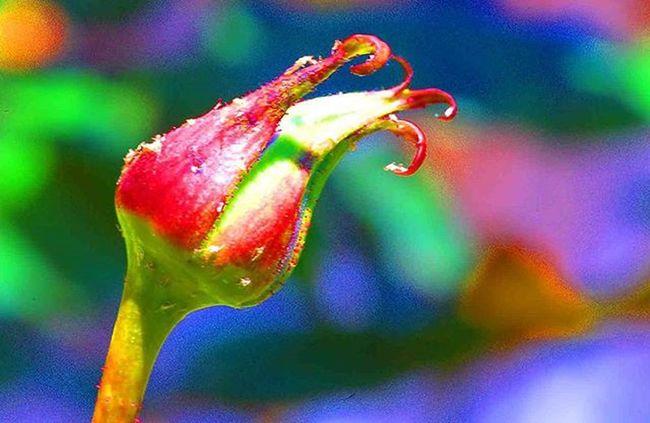 Small rose bud 1) Myworld_in_blue 2) Ig_affair_weekly 3) Vms_macro 4) Small_world_upclose 5) 5star_images 6) Macro_vision 7) Sn_apr2 8) Mta_macro 9) Pic_groups 0) Pocket_colors 1) Tgif_nature 2) Pocket_family 3) Igglobalclubmacro 4) Macro_captures 5) Fotofanatics_macro_ 6) Ponyfony_flowers 7) Macroworld_tr 8) 9vaga_flowerscolor9 9) Tv_flowers 0) Quintaflower 1) Ptk_macro 2) Naturehippys 3) Macro_secrets 4) Tv_colors 5) Rainbow_petals 6) ig_azhubs 7) macro_brilliance 8) 9vaga_macro9 9) show_us_macro 0) global_nature_macro