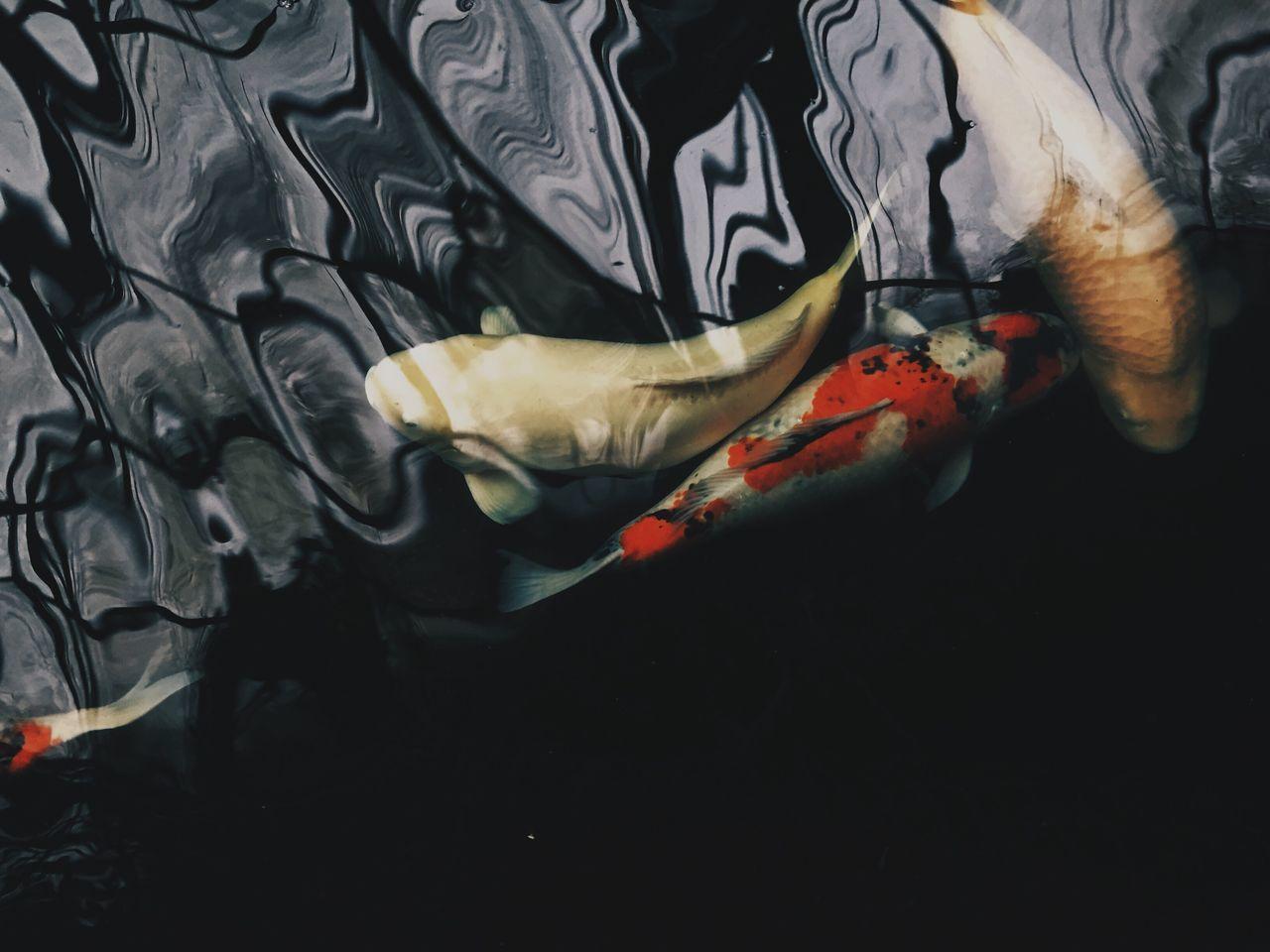 Koi Koi Fish IPhoneography Iphoneonly Japanese Fish No People Pet Pet Photography  Pets Corner