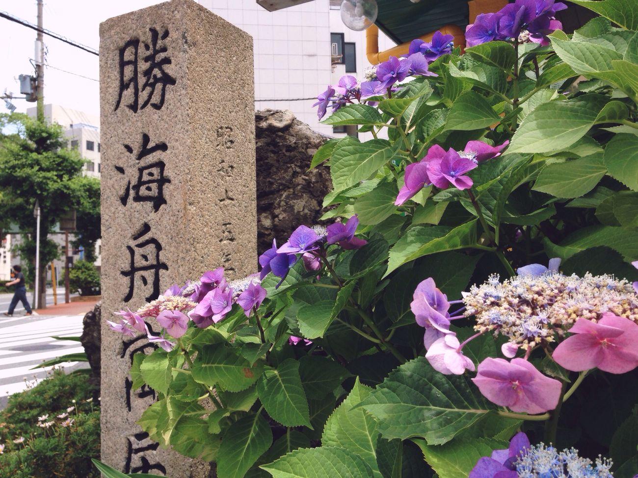勝海舟寓居地 History-walk Japanese Culture Wakayama-shi Wakayama Castle 和歌山市 Hydrangea Macrophylla ガクアジサイ憂い