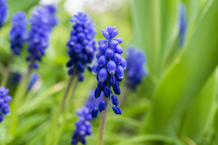 Grape Hyacinths Seasons Hyacinths Flowers Muscari Blooming Grape Hyacinths Purple Violet Nature Growth Growing Green Colors Freshness Garden Plants Spring Flowering Close-up Grass Field Outdoor Cultivate Beautiful Background