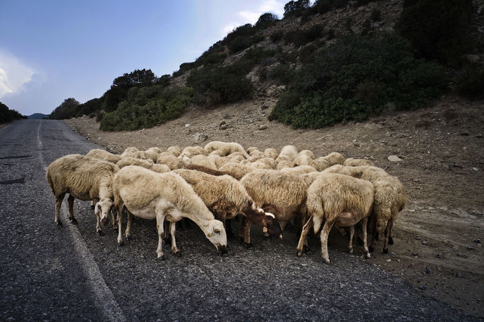 Animal Themes Day Domestic Animals Flock Of Sheep Karpaz Large Group Of Animals Livestock Mammal Nature No People Outdoors Sheep Cyprus North Cyprus