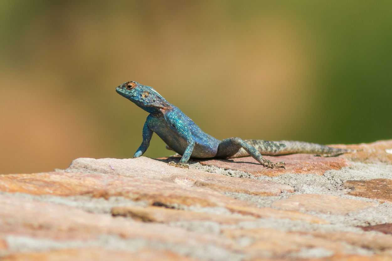 Blue headed agama portrait Animal Themes Animal Wildlife Animals In The Wild Blue Head Agama Blue Headed Lizard Close-up Day Nature No People One Animal Outdoors Reptile Selective Focus Vibrant Color