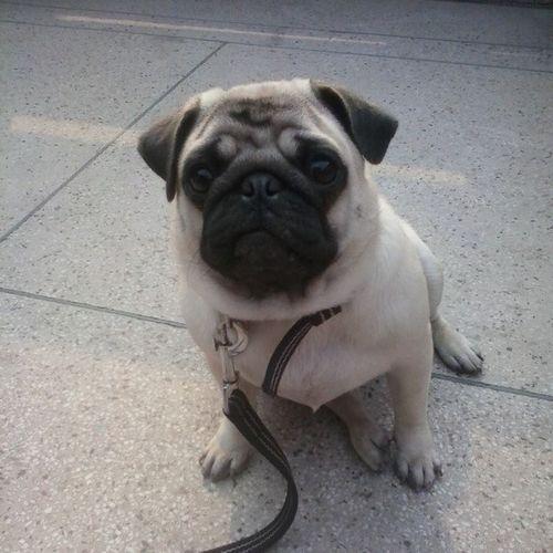 Puppy Pugsrequest Socute Lovelife Morning Pug Doglover Amezing