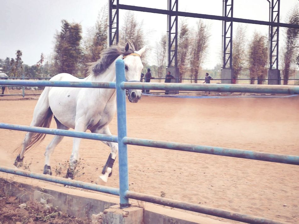 A racer doing its daily routine as a racer, practicing. Animals Stable Life Horse Eye4photography