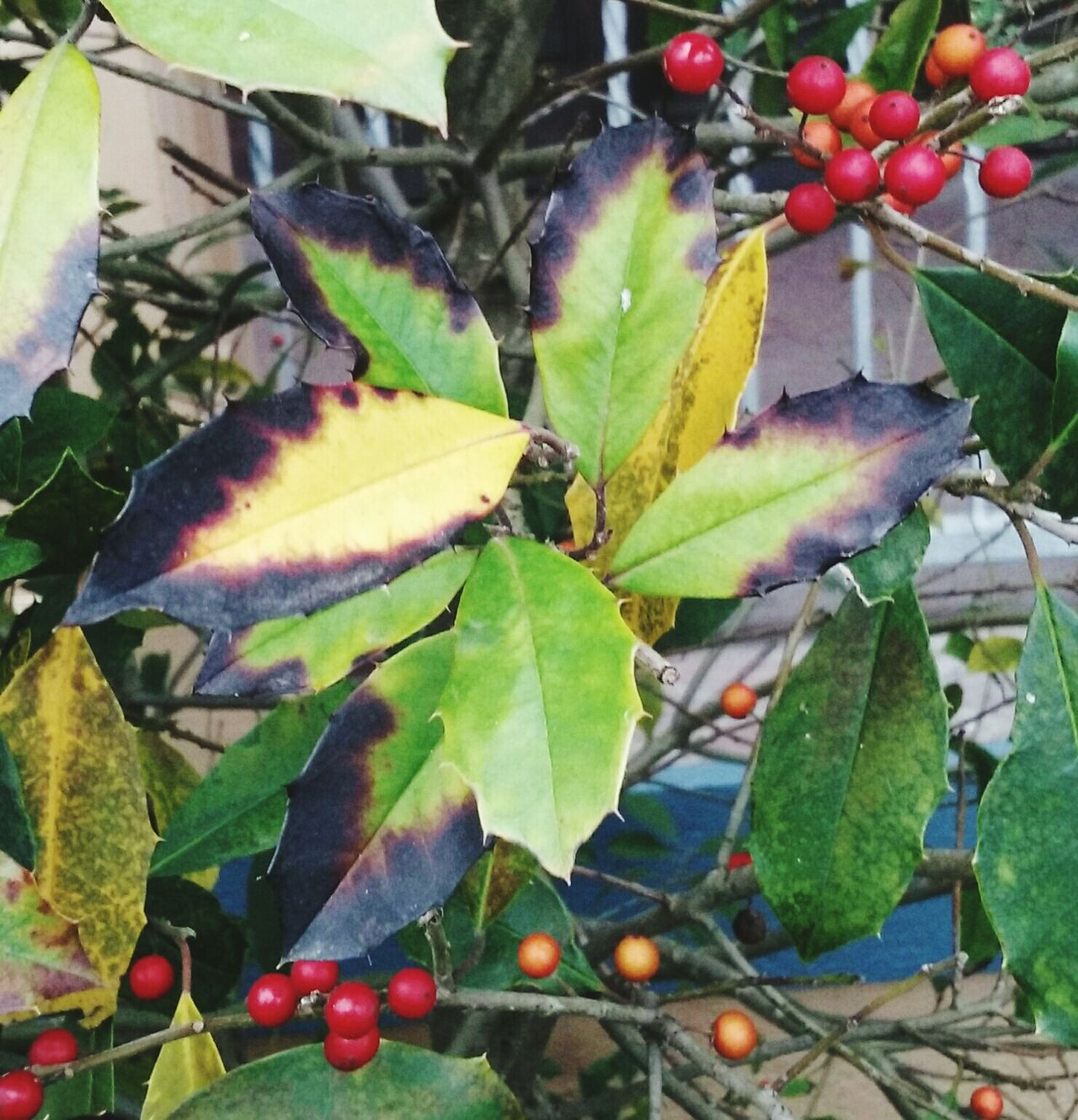 Leaves_collection Leaves🌿 Yello And Brown Leaves Red Berries Android Photography Outdoor Photography Taking Photos Branches