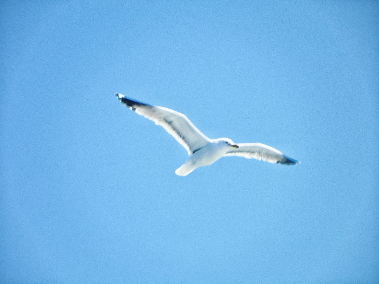 flying, spread wings, one animal, animals in the wild, mid-air, animal themes, copy space, clear sky, bird, low angle view, blue, day, no people, nature, animal wildlife, outdoors, seagull, sky